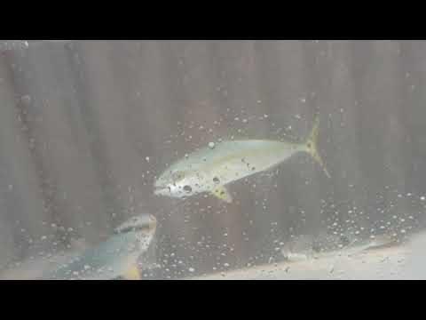 ブリ仔魚とカンパチが魚の切り身を捕食するシーン。ガシラ(カサゴ)も食べています。青物回遊魚は、よく食べるので成長も早い。出世魚そのもの。