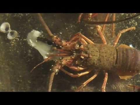 フグも食べる伊勢海老。何とか形状が残っている程度ですが、これはサビキで釣ってきたクサフグ。イセエビは毒魚を食べても、解毒するようです?