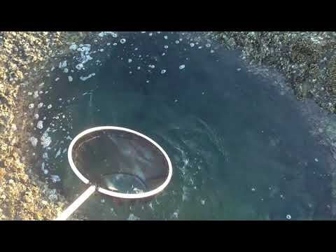 タイドプールは季節により魚種が変化していきます。イワシ稚魚の群れが出始めると、和歌山南紀はもうすぐ秋。春からが磯遊びの好機。潮が引いたらアミを持って、海に出て小魚を捕まえてみよう!