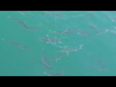 オキアミを無視して泳ぐボラの群れ。排水溝から流れてくるプランクトンばかり食べているようで、沖アミには全く反応しません。青イソメ、キビナゴを試しても同様。このボラは50センチ程度のサイズ。