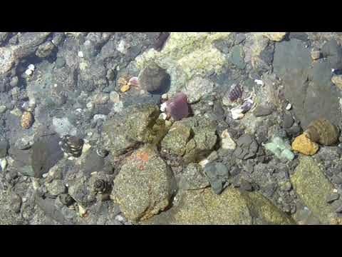 どなたかわかる方教えて下さい!潮だまりのシャコガイ(ボウフラ?)のような形をした2ミリほどの小さな生物。海水を汲んだ時にバケツに入っていることもあります。